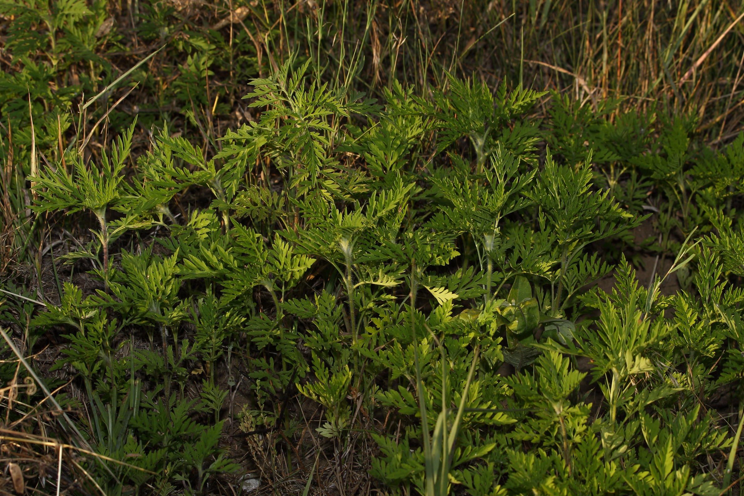 Ambrosia artemisifolia - Parlagfű
